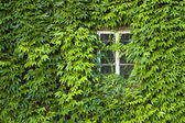 Poison ivy covered house — Stockfoto