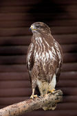 Falcon sitting on branch — Stock Photo