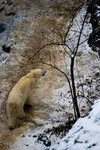 белый медведь в глобальное потепление затрагивает страны — Стоковое фото