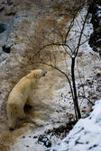 Polar bear in global warming affected country — Stock Photo