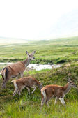 Whitetail buck family with two cute babies — Stock Photo