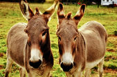 Two closeup donkeys — Stock Photo