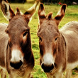 Foto de Stock  : Closeup of donkeys