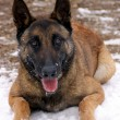 Malinois — Stock Photo #8698157