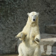 Polar bear-she — Stock Photo #10262296
