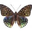 Stock Photo: Mottled butterfly