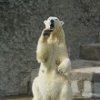 Stock Photo: Polar bear is threatening