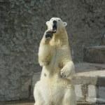 oso polar está amenazando — Foto de Stock