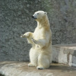 Stock Photo: Polar bear-beggar