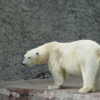 Polar bear — Stock Photo #10262485