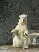Polar bear-she — Stock Photo