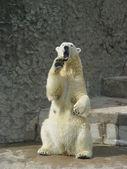 Polar bear is threatening — Stock Photo