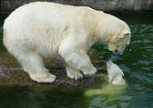 Polar bear with cub — Stock Photo