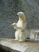 Polar bear-beggar — Stock Photo
