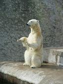 Polar bear-beggar — Stock Photo