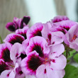 Pink geranium flowers — Stock Photo