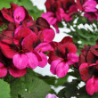 Burgundy geraniums — Stock Photo