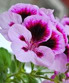 Purple geranium — Стоковое фото