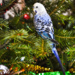 Stock Photo: Blue parakeets