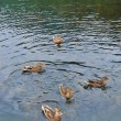Five Mallards in Lake — Stock Photo
