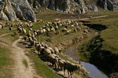 Sheep flock — Foto Stock