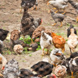 Stock Photo: CHICKENS ON FARM
