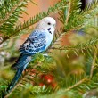 Blue parakeets — Stock Photo #9593257
