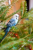 Blue parakeets — Stock Photo