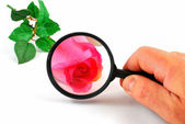 Magnifying glass and rose — Stock Photo