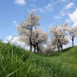 Cherry Trees — Stock Photo