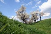Árvores de cereja — Fotografia Stock