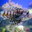 red lionfish — Stock Photo #8573784