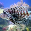red lionfish — Stock Photo #8573793