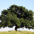 Oak tree — Stock Photo