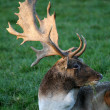 Stock Photo: Stag portrait