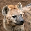 Spotted hyena — Stock Photo #8576783