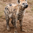 Spotted hyena — Stock Photo #8576799