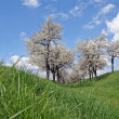 Cherry Trees — Stock Photo #8576929