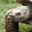Stock Photo: Tortoise
