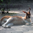 Stock Photo: Red kangaroo