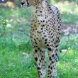 Cheetah — Stock Photo #8577061
