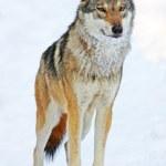 Wolf portrait — Stock Photo