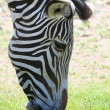 Zebra portrait - Stockfoto