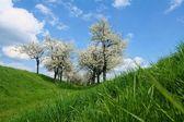 Třešně — Stock fotografie