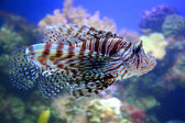 Red lionfish — Stock Photo