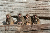 Baboon family — Stock Photo