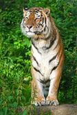 西伯利亚虎 — 图库照片
