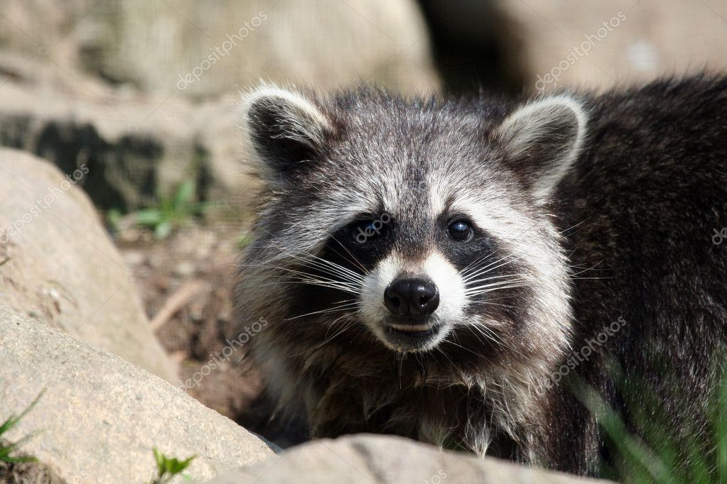 Raccoon — Stock Photo #8576963