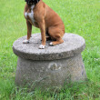 Boxer dog — Stock Photo #8612320