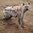 Spotted hyena — Stock Photo #8612665
